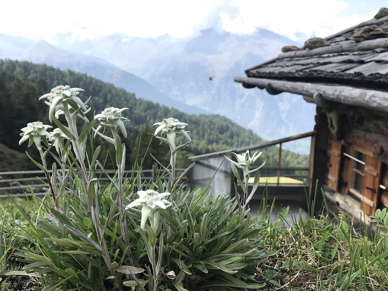 Edelweiss flower in Austrian, Bavarian mountains